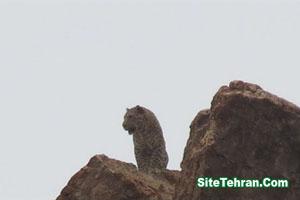 Photo-leopard-siteTehran (1)