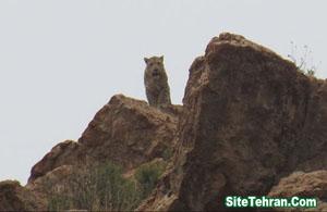 Photo-leopard-siteTehran (2)